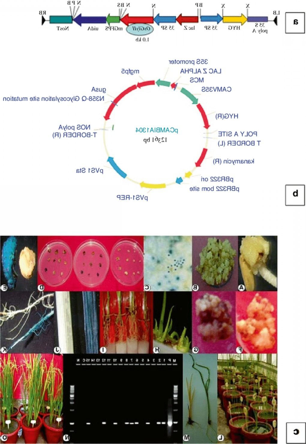 Vector Plant Transformation: A The Transgene Used In This Study Was Glyoxalase Ii Osglyii From Oryza Sativa Genbankfig