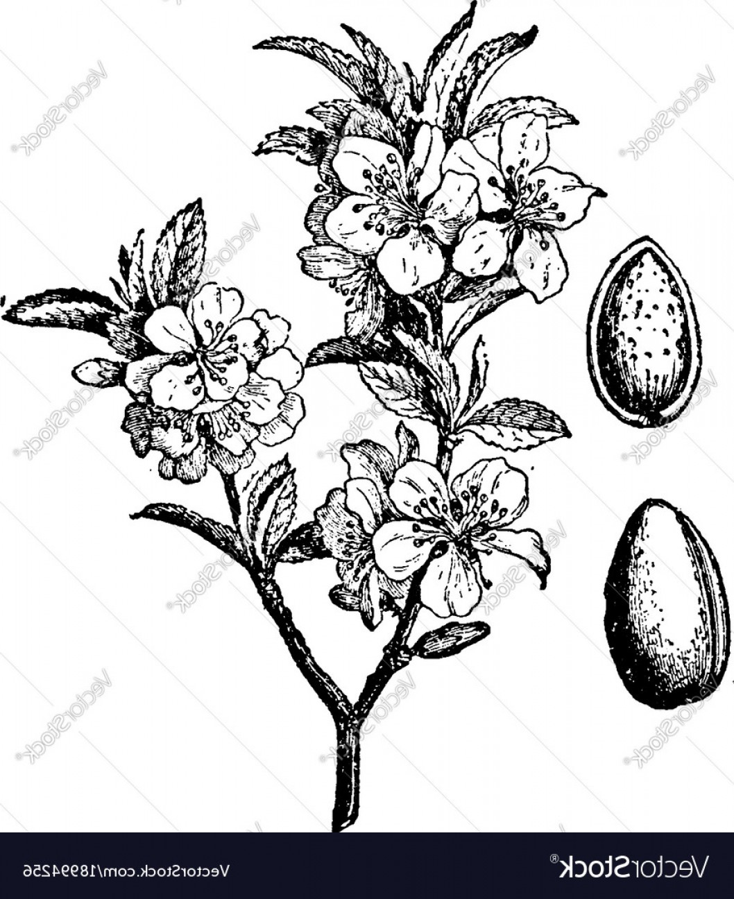 Almond Tree Vector: Almond Tree And Fruit Vintage Vector