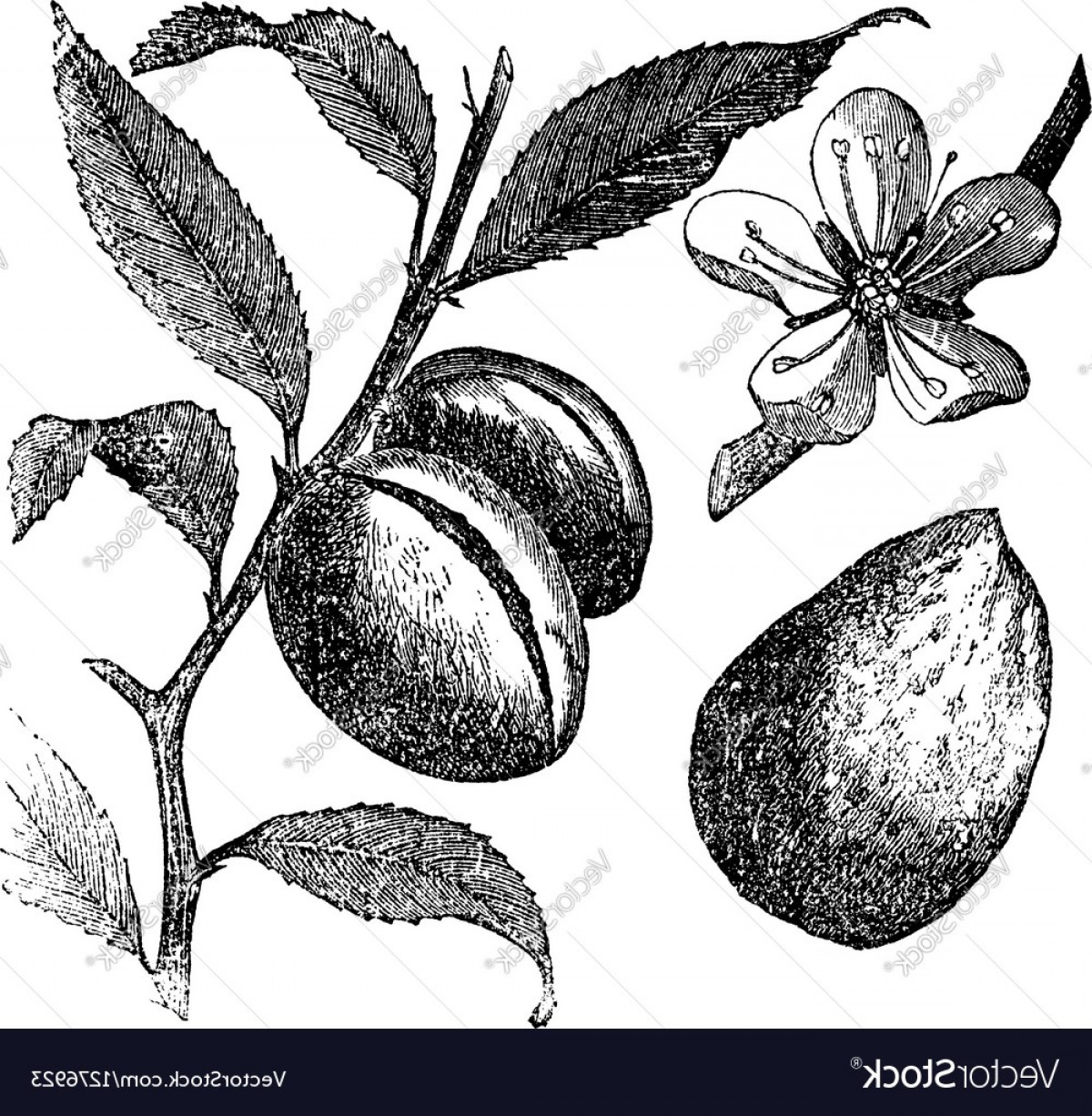 Almond Tree Vector: Almond Tree Vintage Engraving Vector