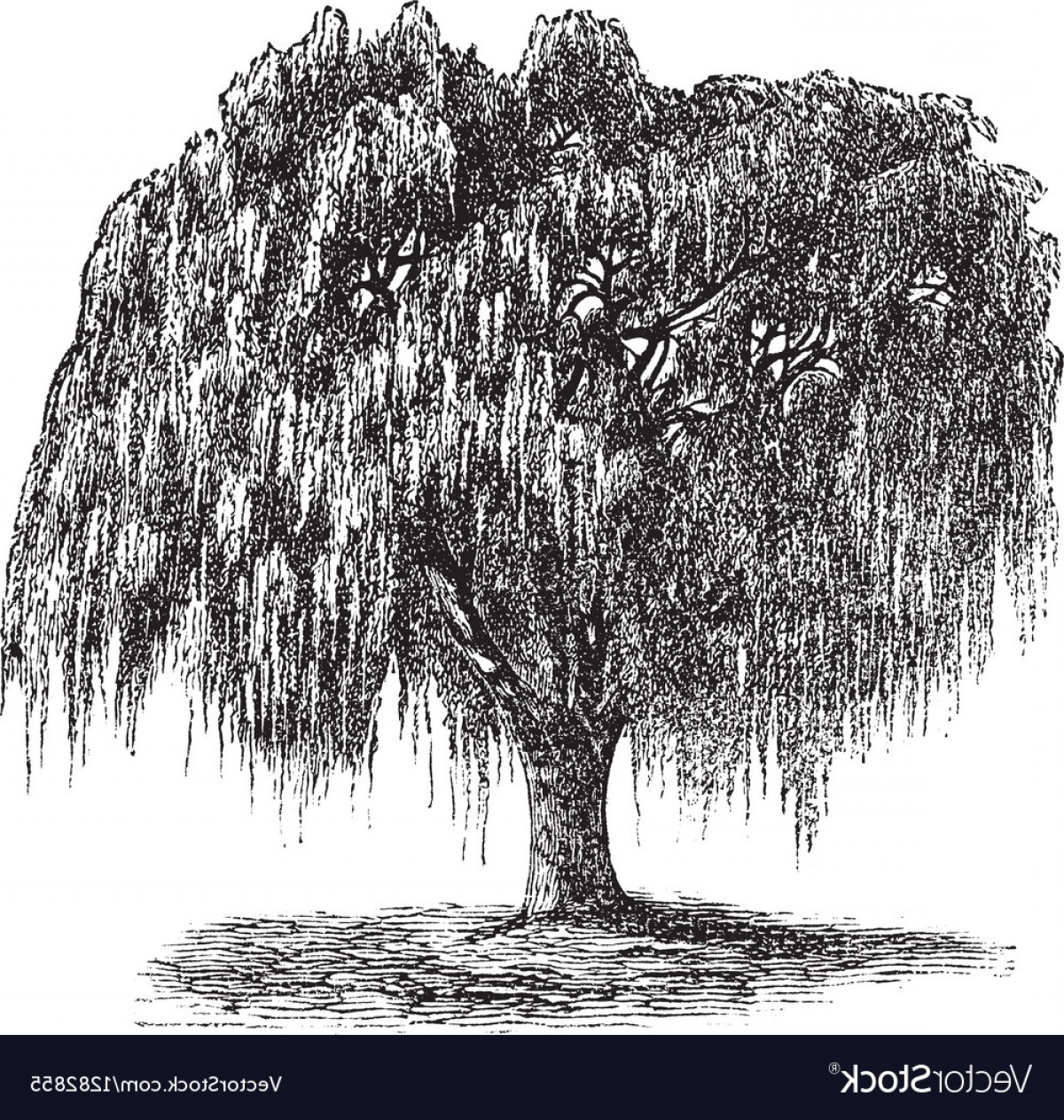 Vector Water Willow: Babylon Willow Vintage Engraving Vector