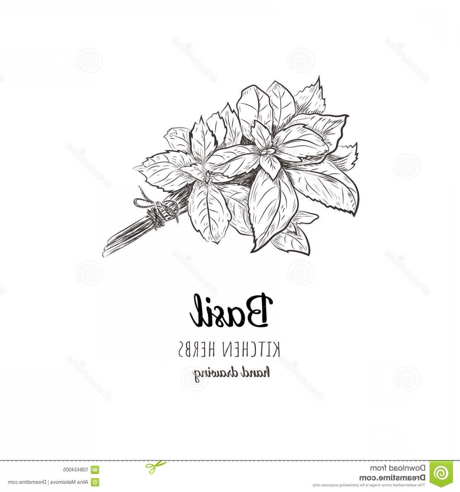 Basil Vector: Basil Vector Illustration Herbs Spices Sketch Hand Drawing Image