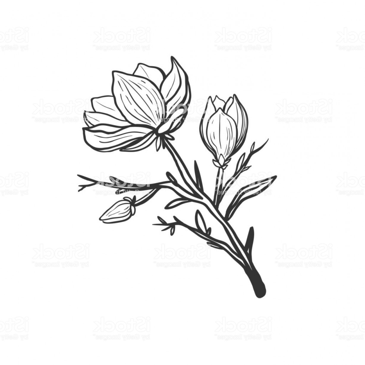 Magnolia Black And White Vector: Beautiful Magnolia Branch With Flowers Isolated On White Black And White Vector Gm