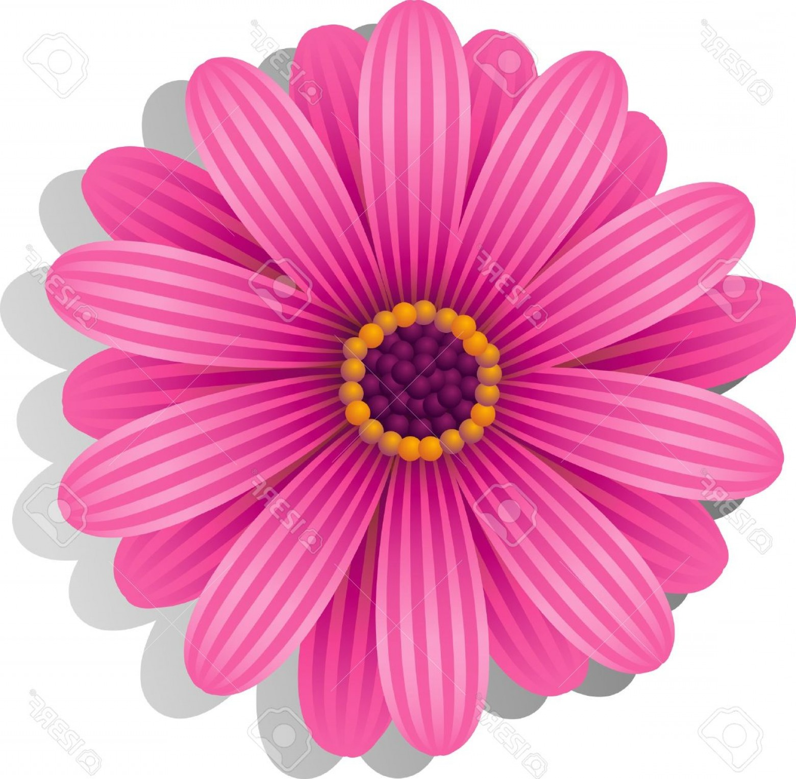 Orange Gerber Daisy Vector: Beautiful Photobeautiful Pink Gerber Daisy Over White