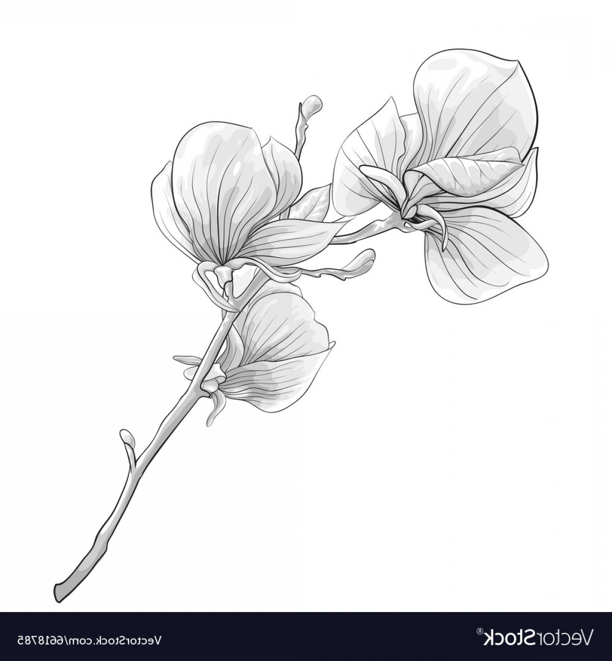 Magnolia Black And White Vector: Black And White Twig Blossoming Magnolia Tree Vector