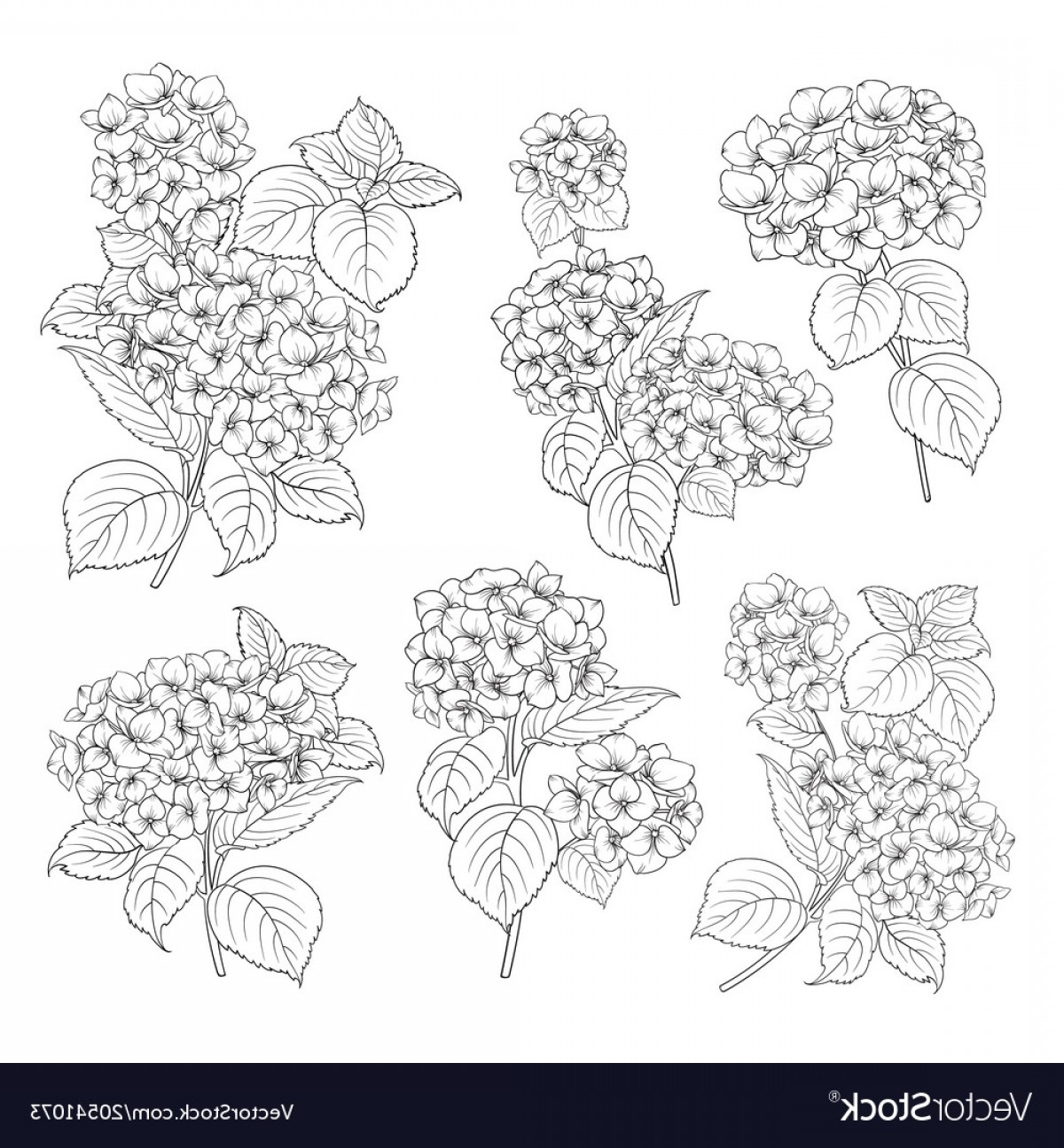Vector Mop Flower: Black Contour Of Hydrangea Vector