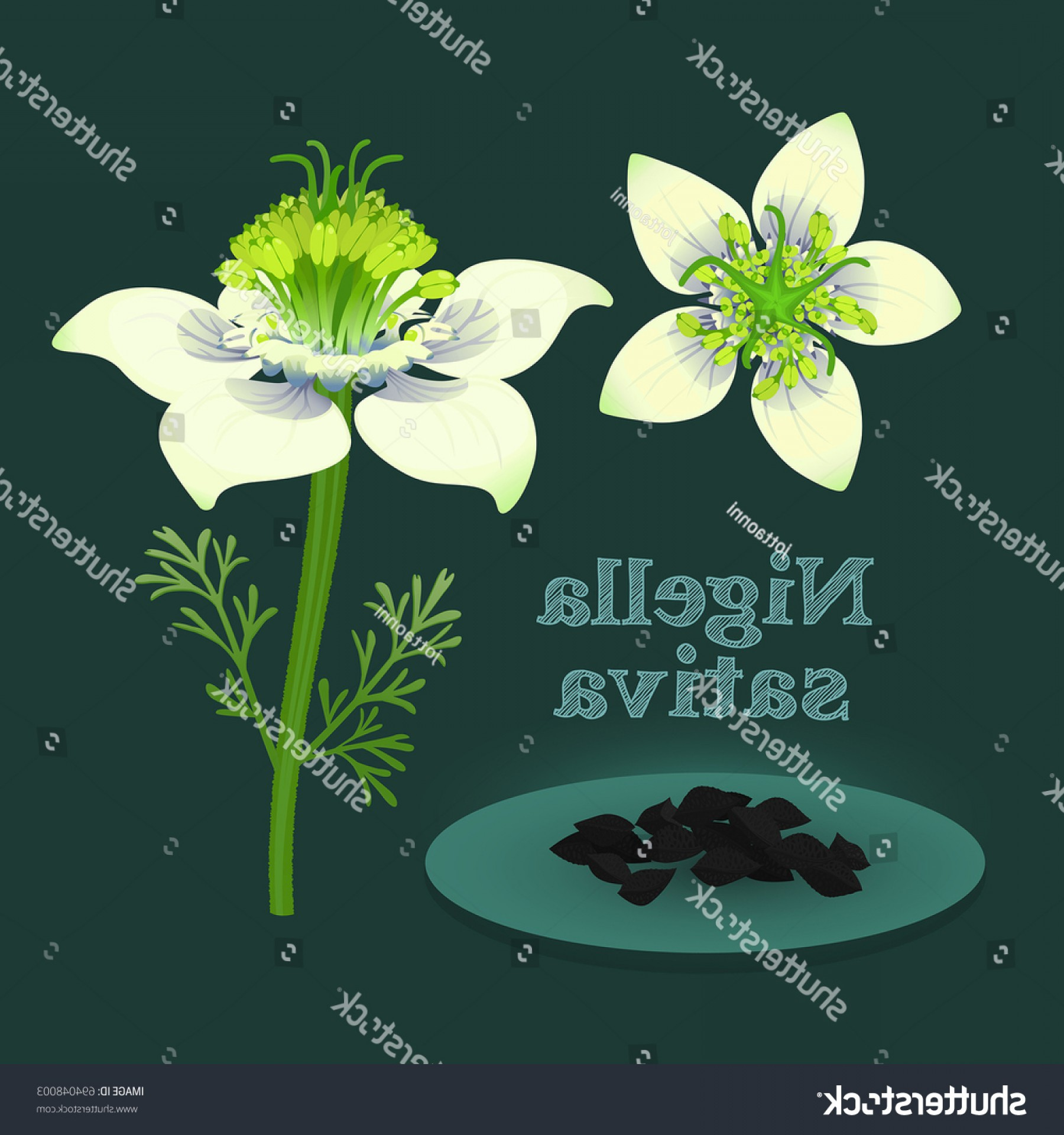 Seed Flower Vectors: Black Cumin Nigella Sativa White Flowers