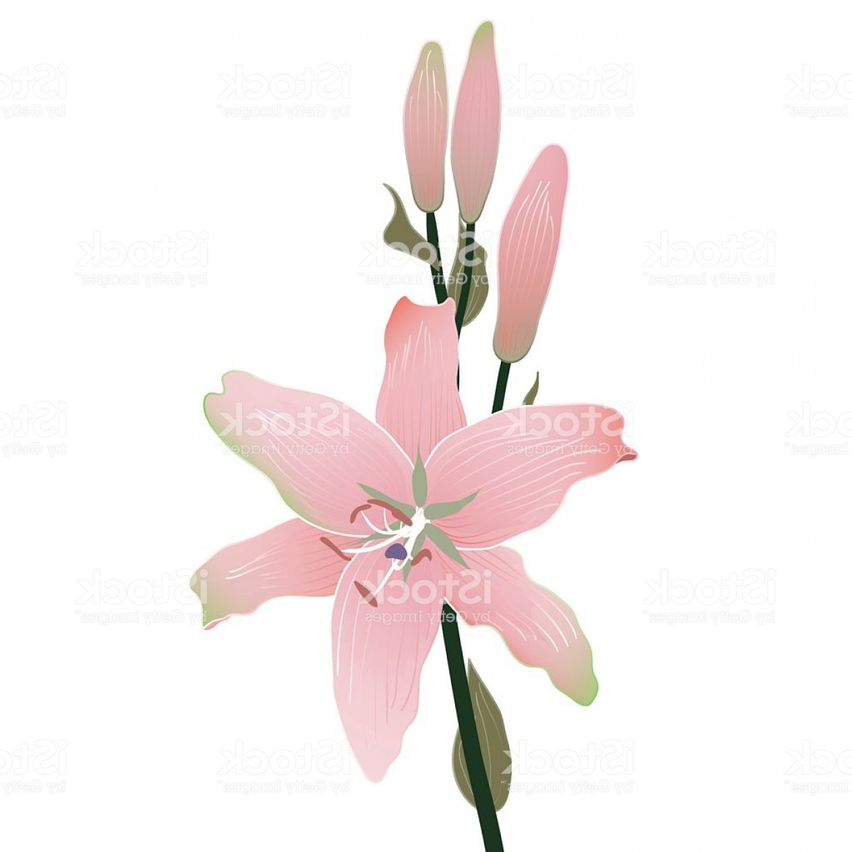 Vector Image Of A Budding Flower: Blooming And Budding Lily Flowers Gm