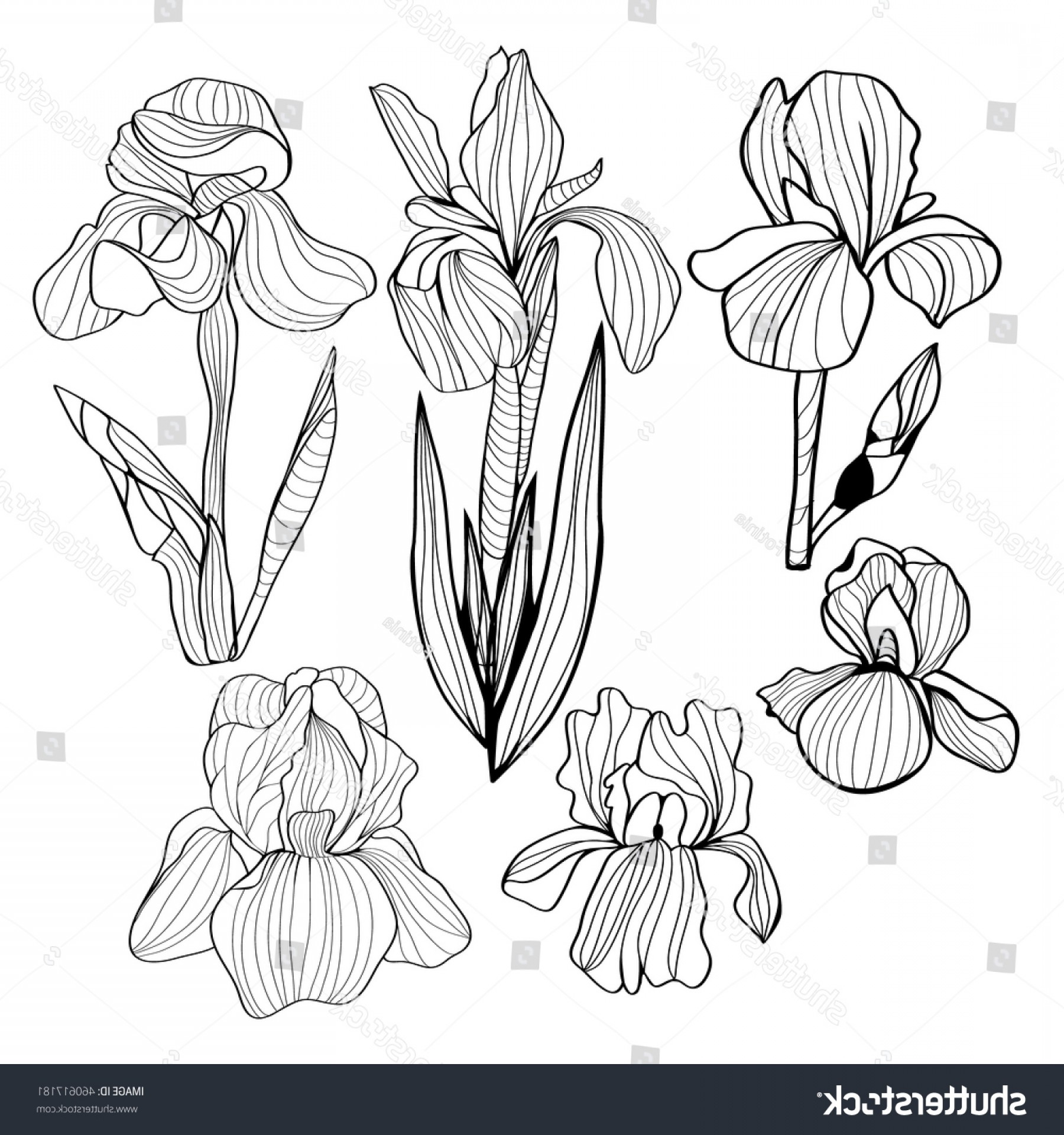 Vector Image Of A Budding Flower: Blooming Budding Iris Flowers Black White