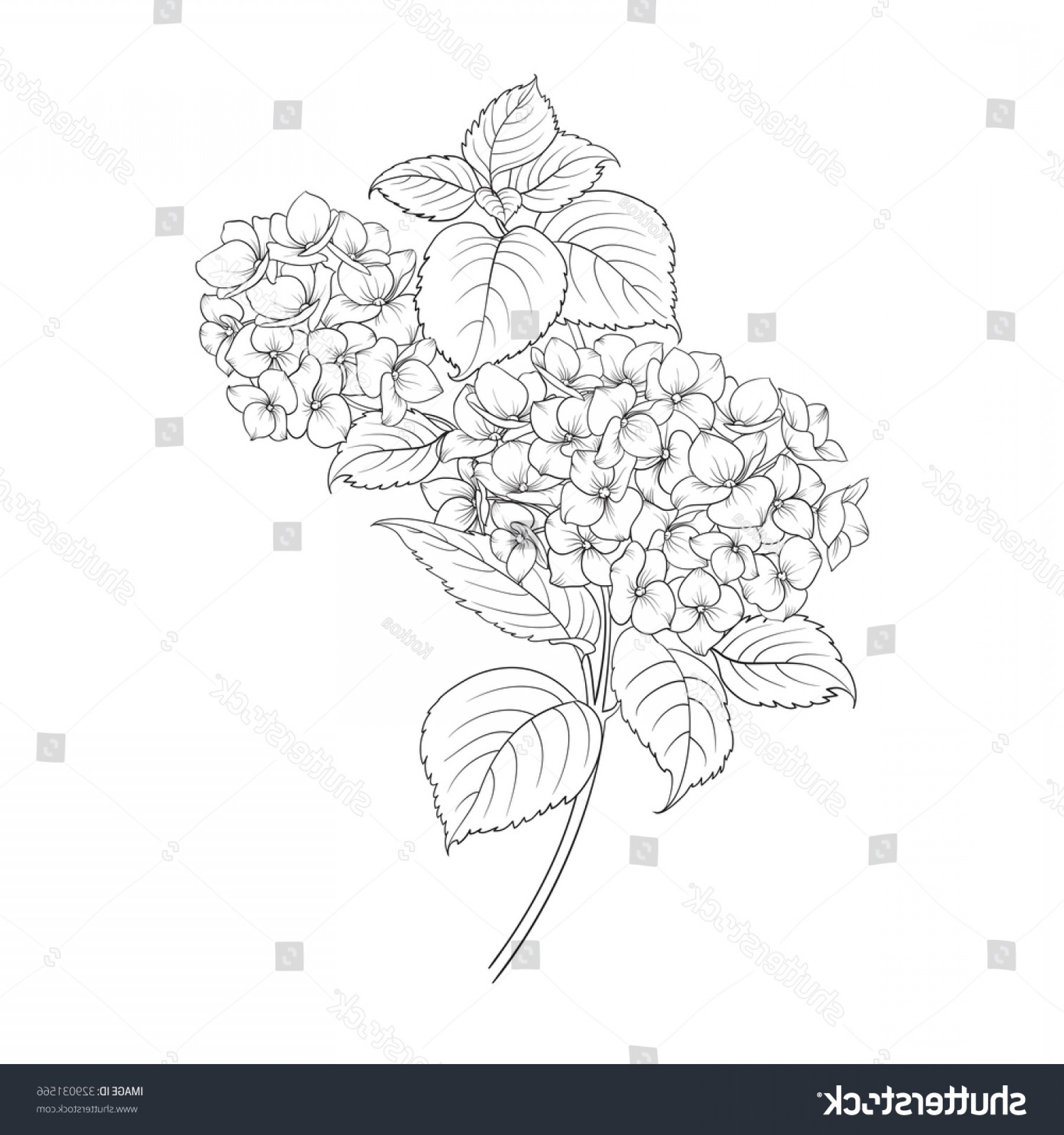 Vector Mop Flower: Blooming Flower Hydrangea On White Background