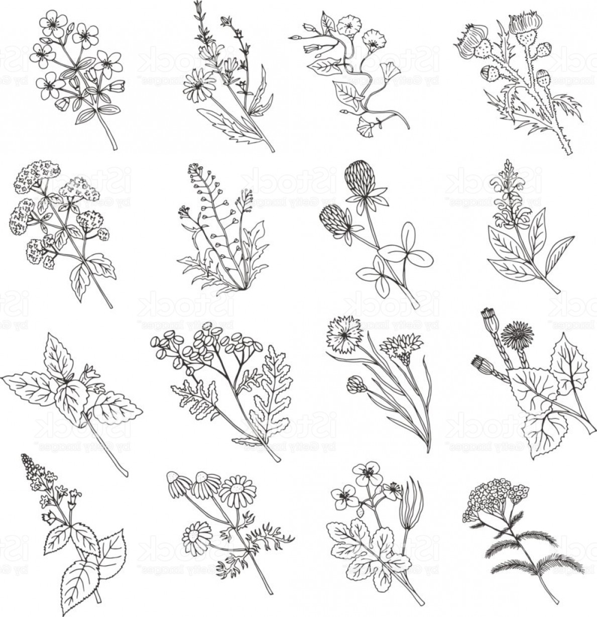Botanical Flower Vectors: Botanical Sketch Drawings Vector Illustration Of Flowers And Botanic Herbs Gm