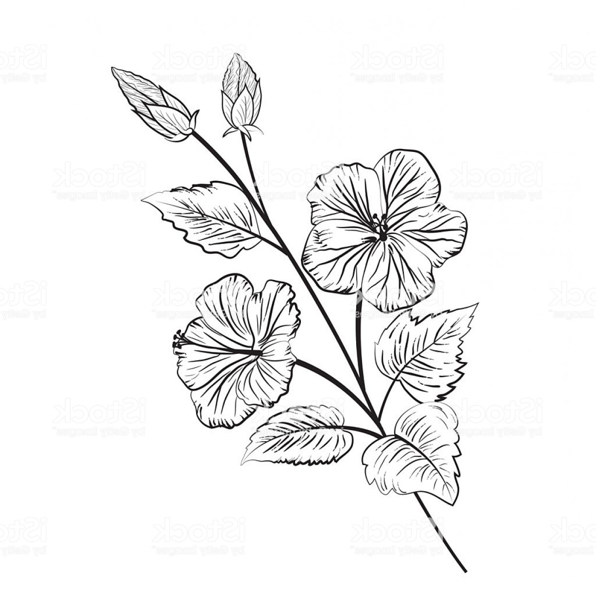 Botanical Flower Vectors: Botanical Style Illustration Of Hibiscus Flowers Gm
