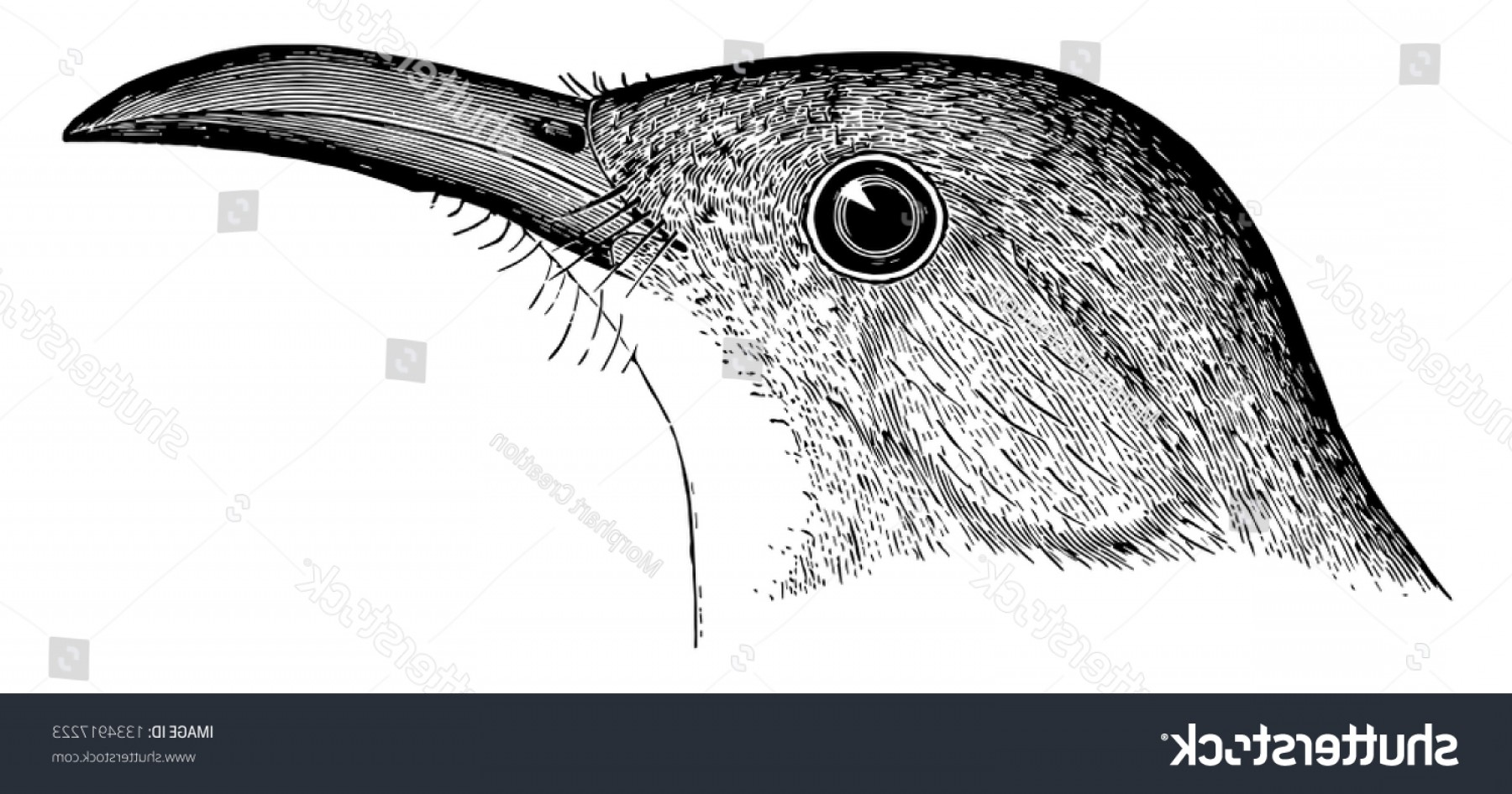 Thrasher Vector: Bow Billed Thrasher Which Wing Coverts