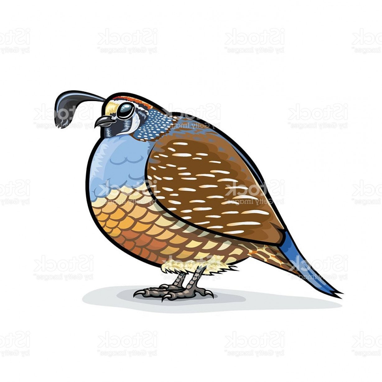 Quail Vector Art: California Valley Quail Puffed Up Standing Gm