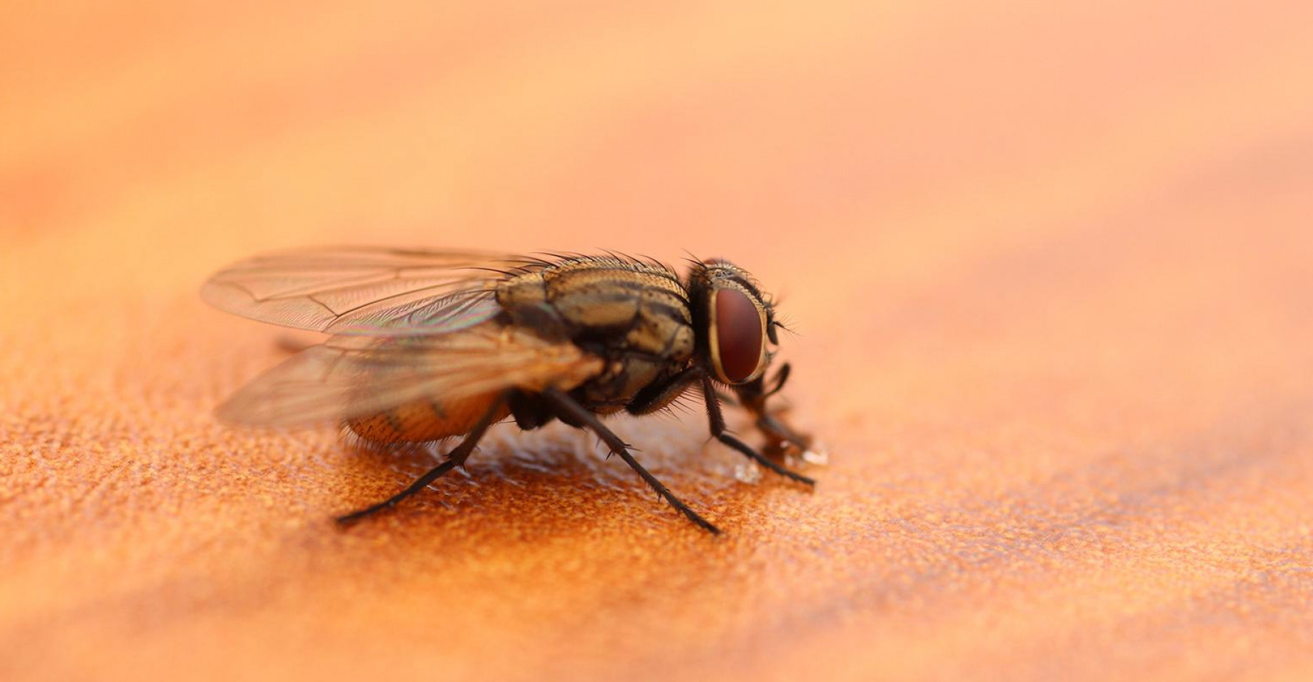 Mechanical Transmission Of Disease Vectors: Can Pigs Become Infected Asf Eating Flies