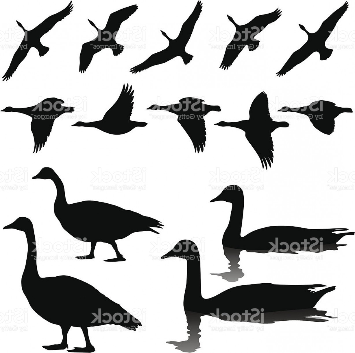 Geese Vector: Canada Geese In Flight Standing And Swimming Gm