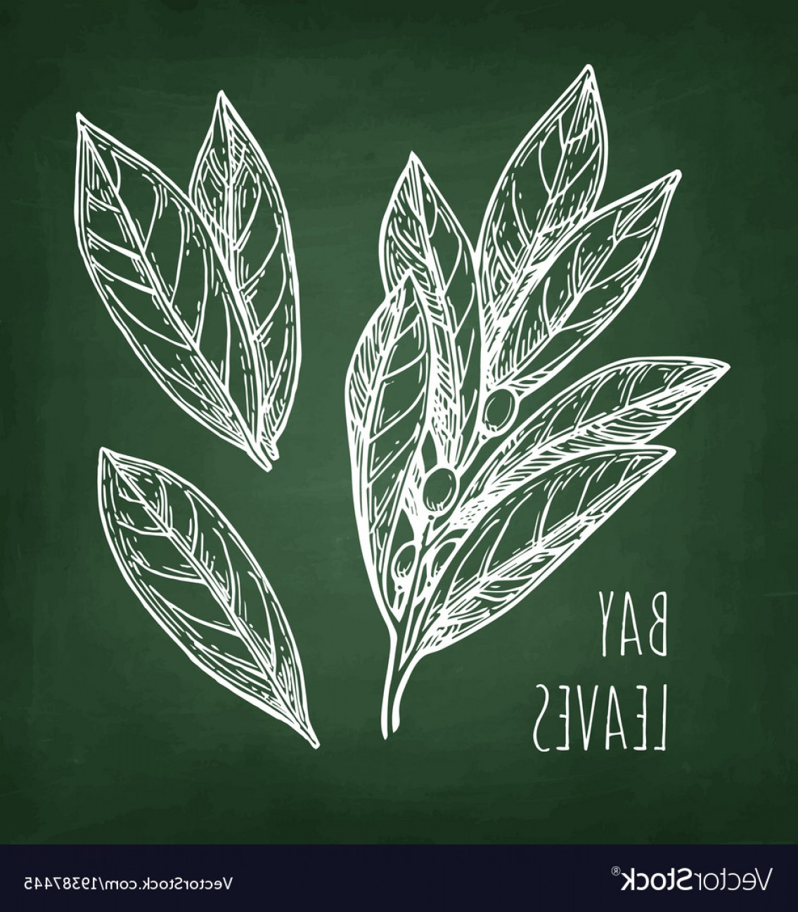 Green Bay Vector: Chalk Sketch Of Bay Leaves Vector
