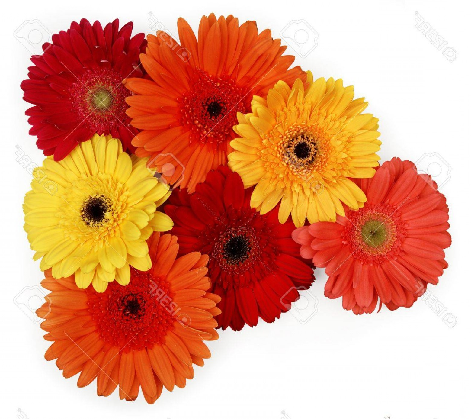 Orange Gerber Daisy Vector: Chic Photoyellow Red And Orange Gerber Daisies On White