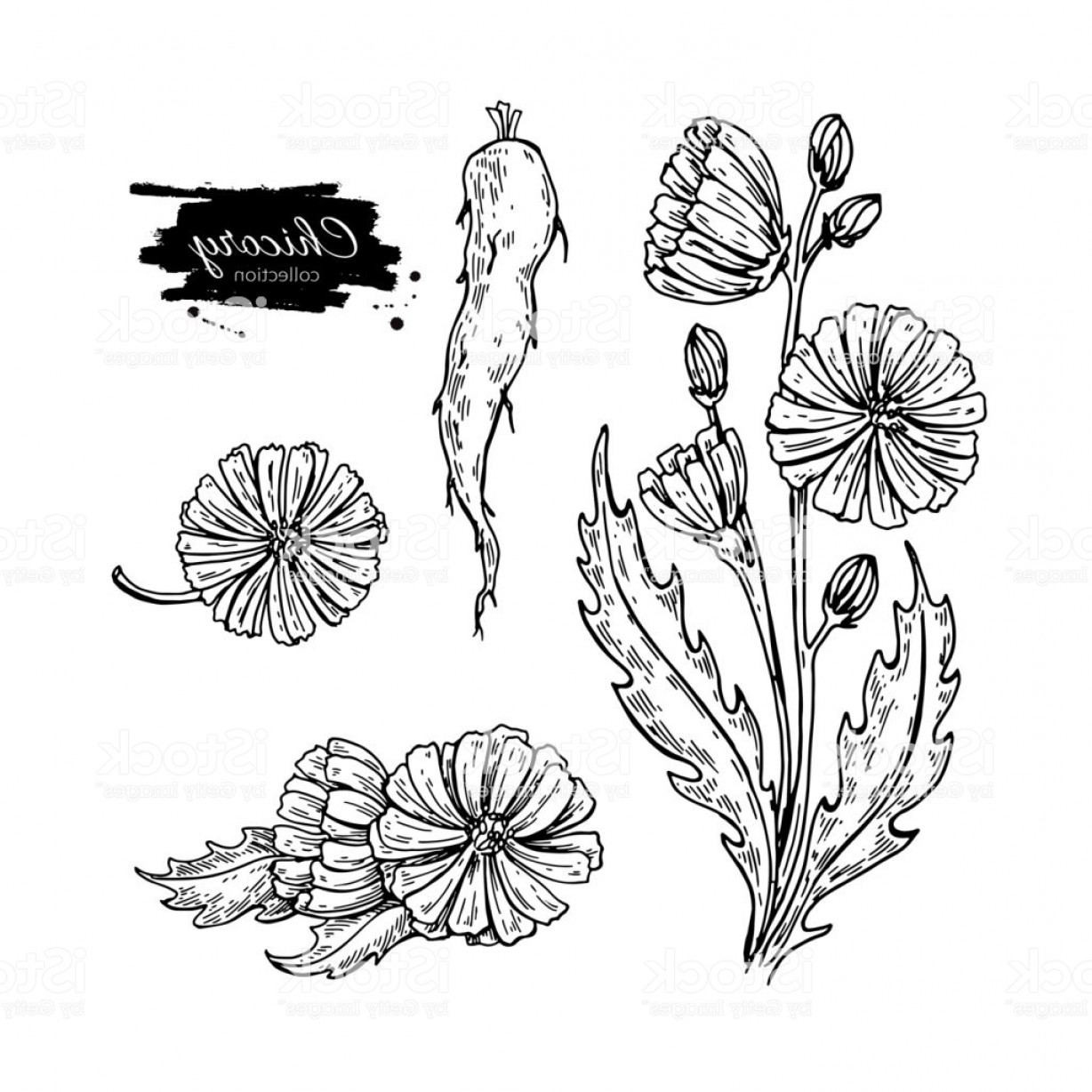 Seed Flower Vectors: Chicory Flower Root And Seed Vector Superfood Drawing Set Isol Gm