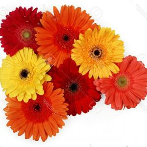 Chic Photoyellow Red And Orange Gerber Daisies On White ...