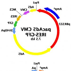 Vector Image Of Adenovirus: Adenovirus Genetic Grouping And Vector Organization A Phylogenetic Tree Showing Thefig