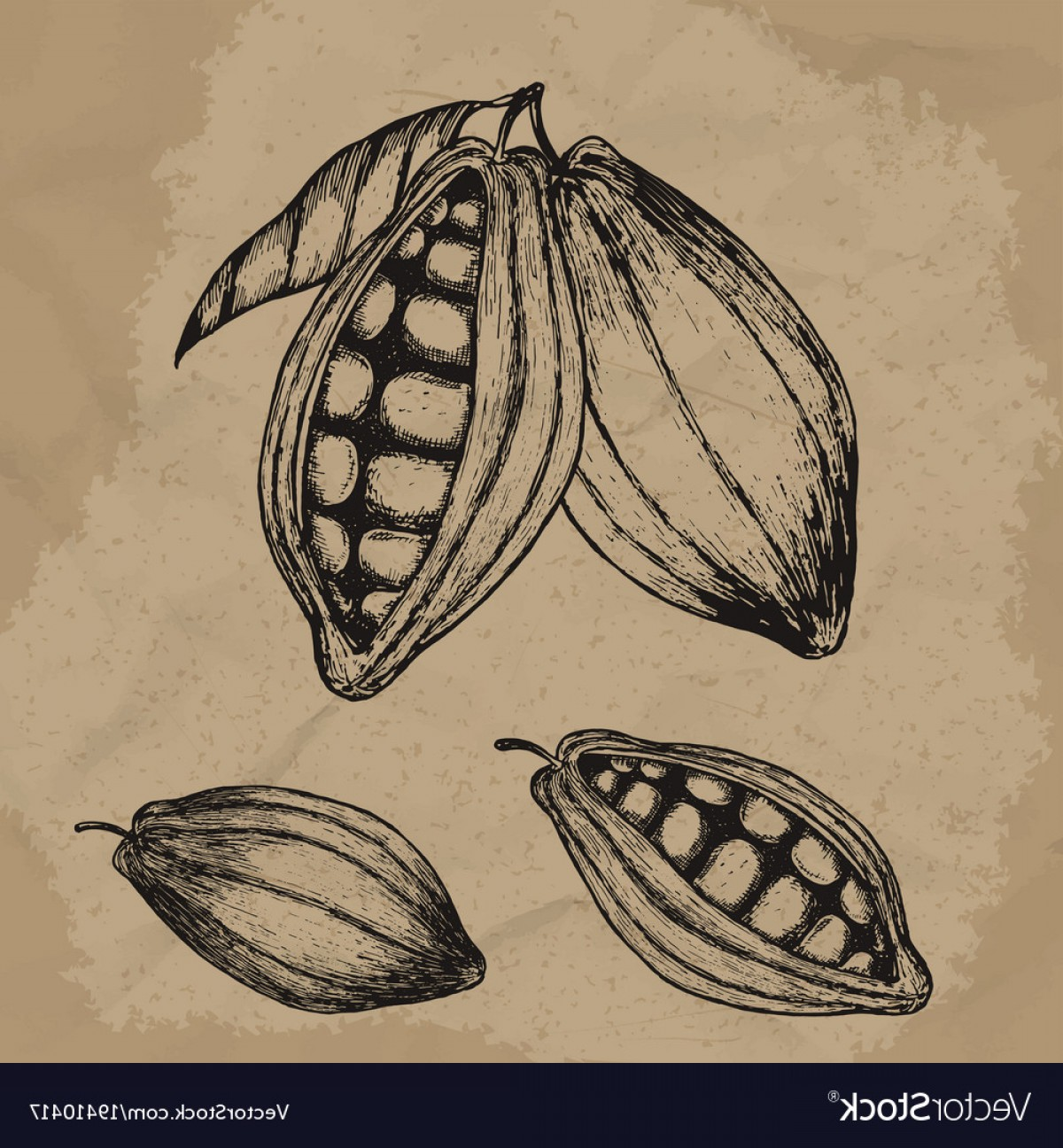 Chocolate Vector Plant: Cocoa Beans Hand Drawn Chocolate Vector
