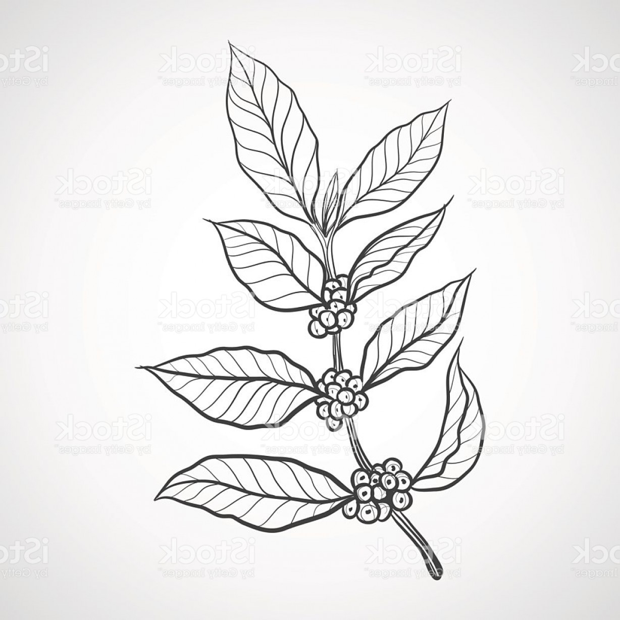 Coffee Tree Vector: Coffee Plant With Coffee Leaf Gm