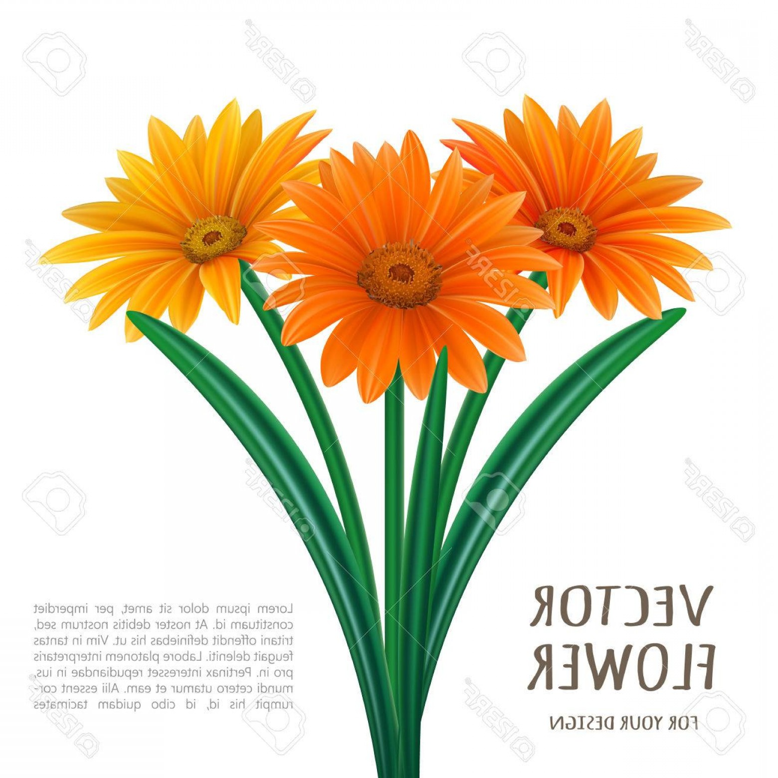 Orange Gerber Daisy Vector: Comfortable Photostock Vector Hand Drawn Vector Realistic Illustration Of Gerbera Daisy Flower
