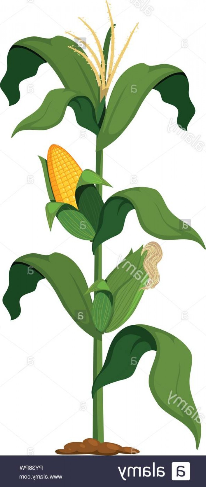 Maize Vector Tree: Corn Plant On White Background Illustration Image