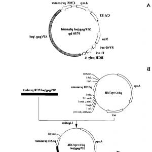 Vaccinia Virus Vector: A Pnp Cells Were Infected With Vaccinia Virus Vectors Expressing The Pb Pb Pafig