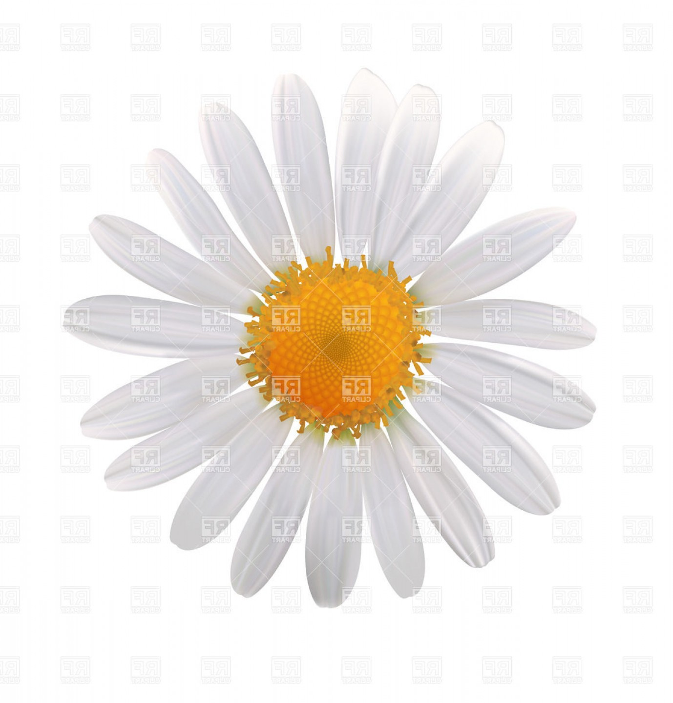 Simple Vector Daisy: Daisy Flower Bud Of Camomile Top View Vector Clipart