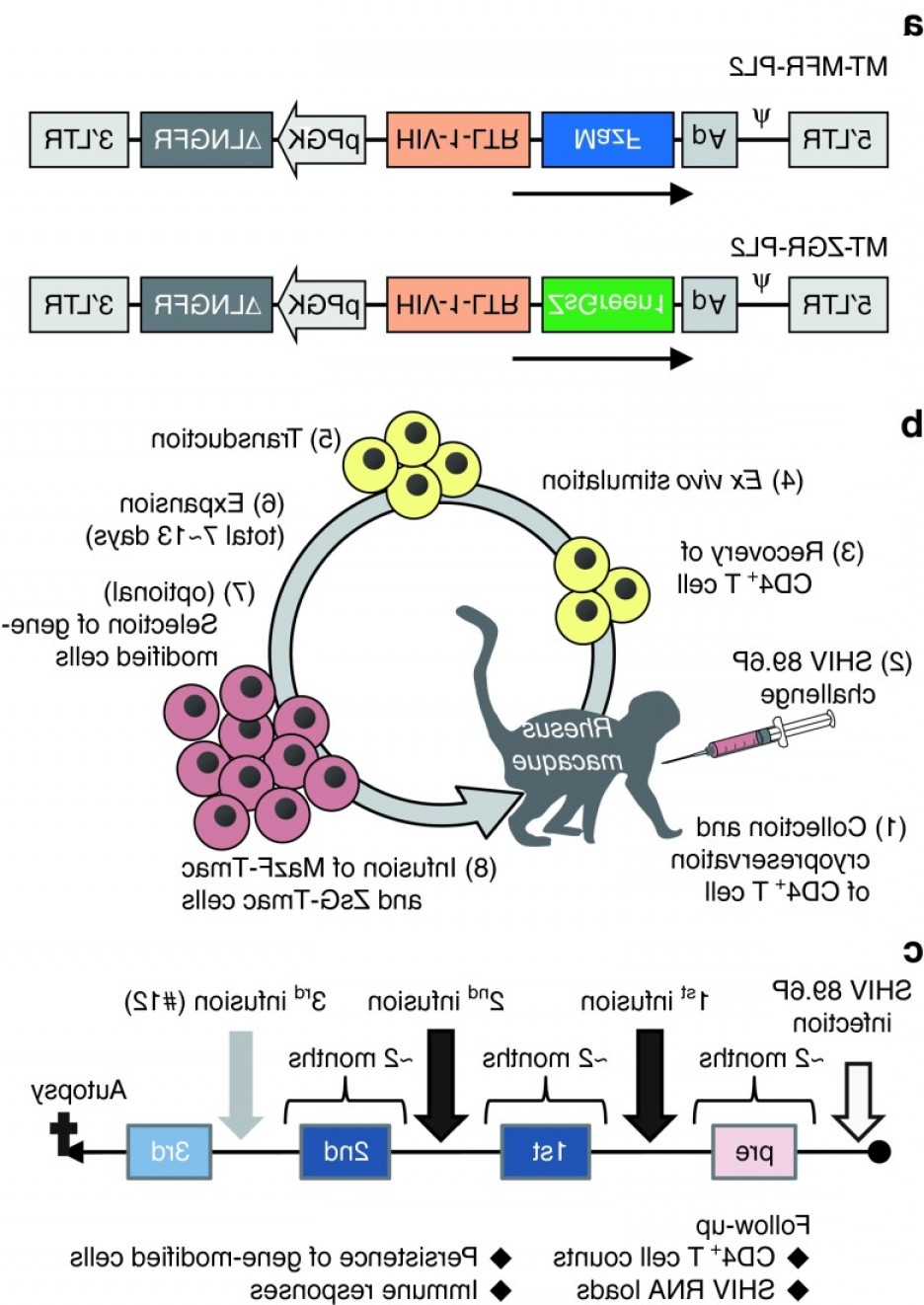 Mouse Leukemia Virus Vector: Diagram Of Autologous Cd T Cell Transplantation In A Primate Model A Structures Offig