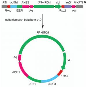 Viral Vector Hybrid: A Fragmented Adenoassociated Viral Dual Vector Strategy For Treatment Of Diseases Caused By Mutations In Large Genes Leads To Expr