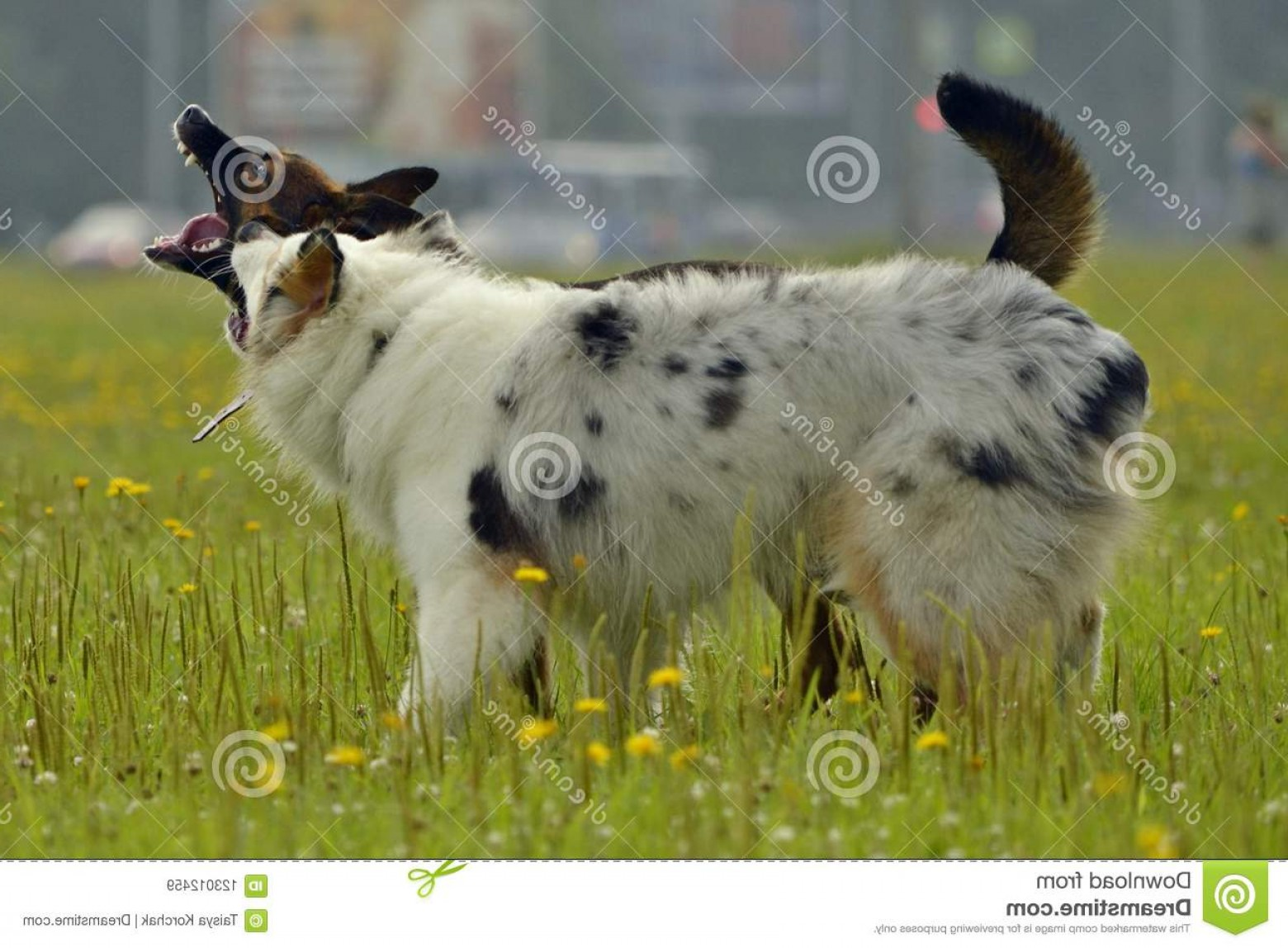 Australian Shepherd Walking Vector: Dogs Play Each Other How To Protect Your Dog Overheating Training Dogs Young Energetic Dog Walk Dogs Play Image