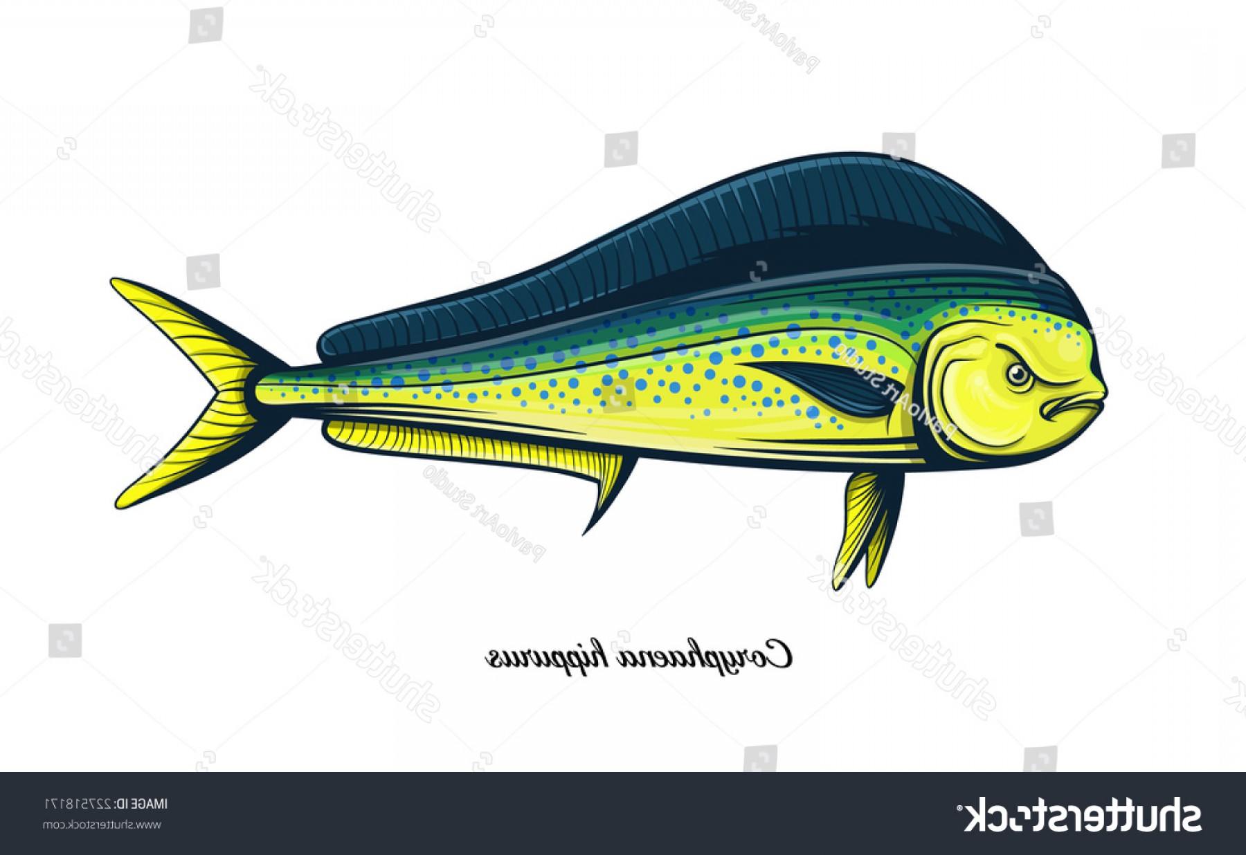 Mahi Mahi Outline Vector Images: Dolphin Fish Color Engraving Vector Illustration