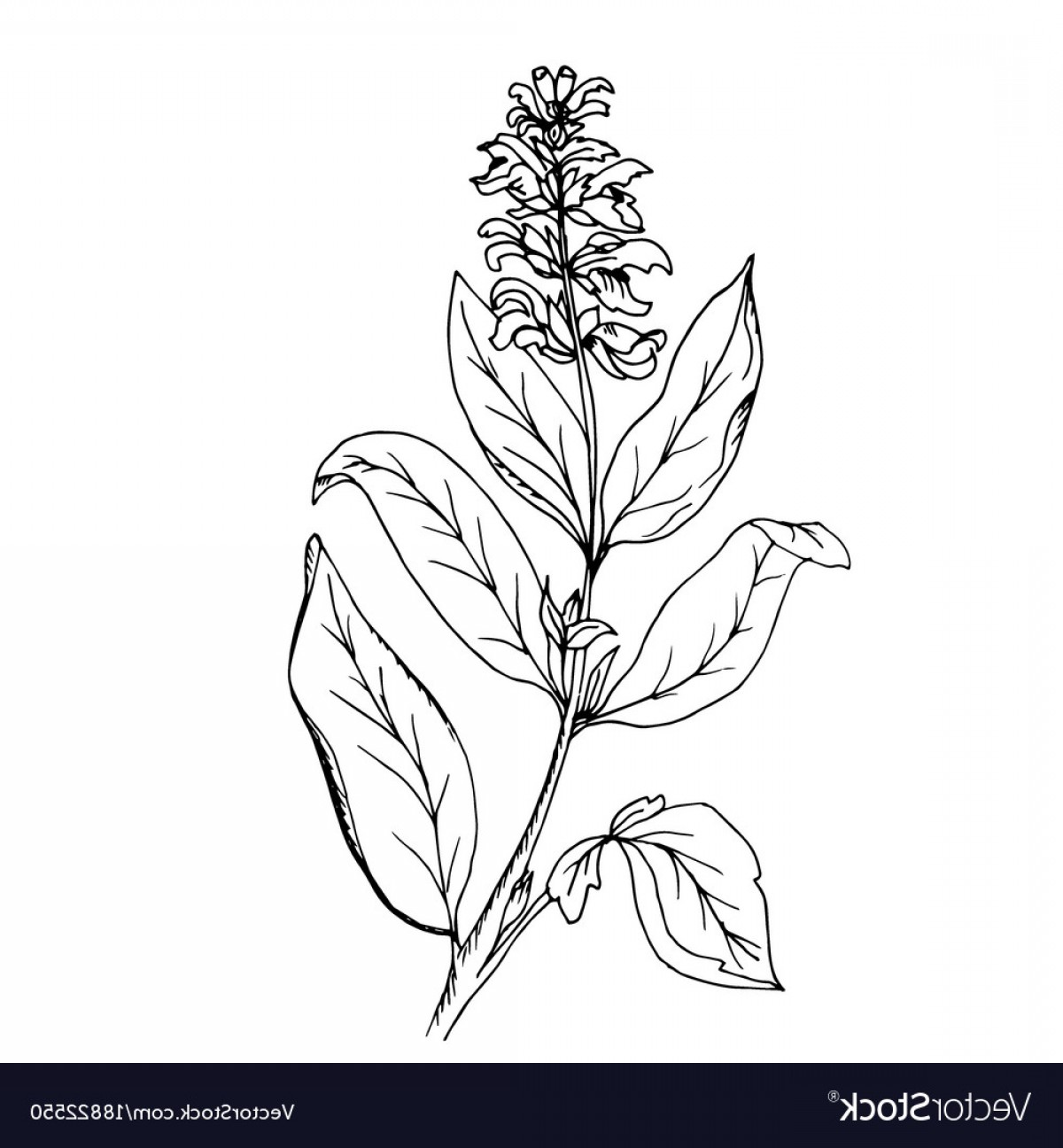 Sage Plant Vector: Doodle Sage Grass Painted Vector