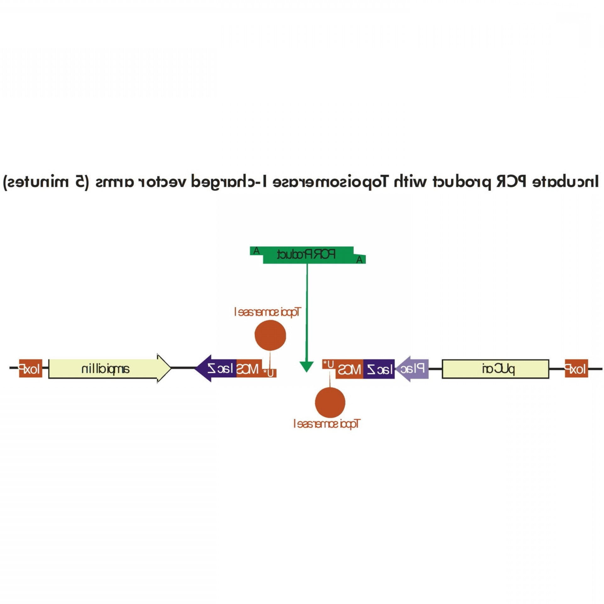 Topo Ta Plasmid Vector: Easy A Hi Fi Cloning Enzyme Master Mix
