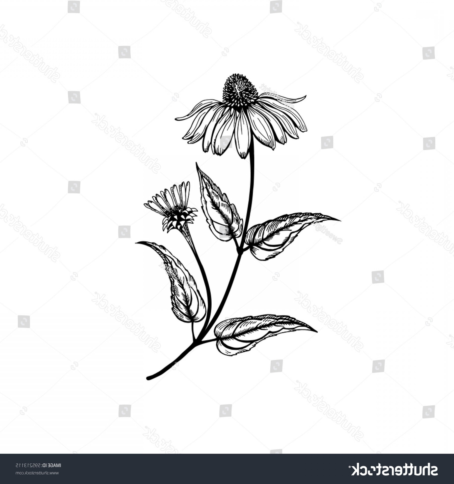 Wildflowers Outline Vector: Echinacea Vector Wildflowers Collection Outline Style