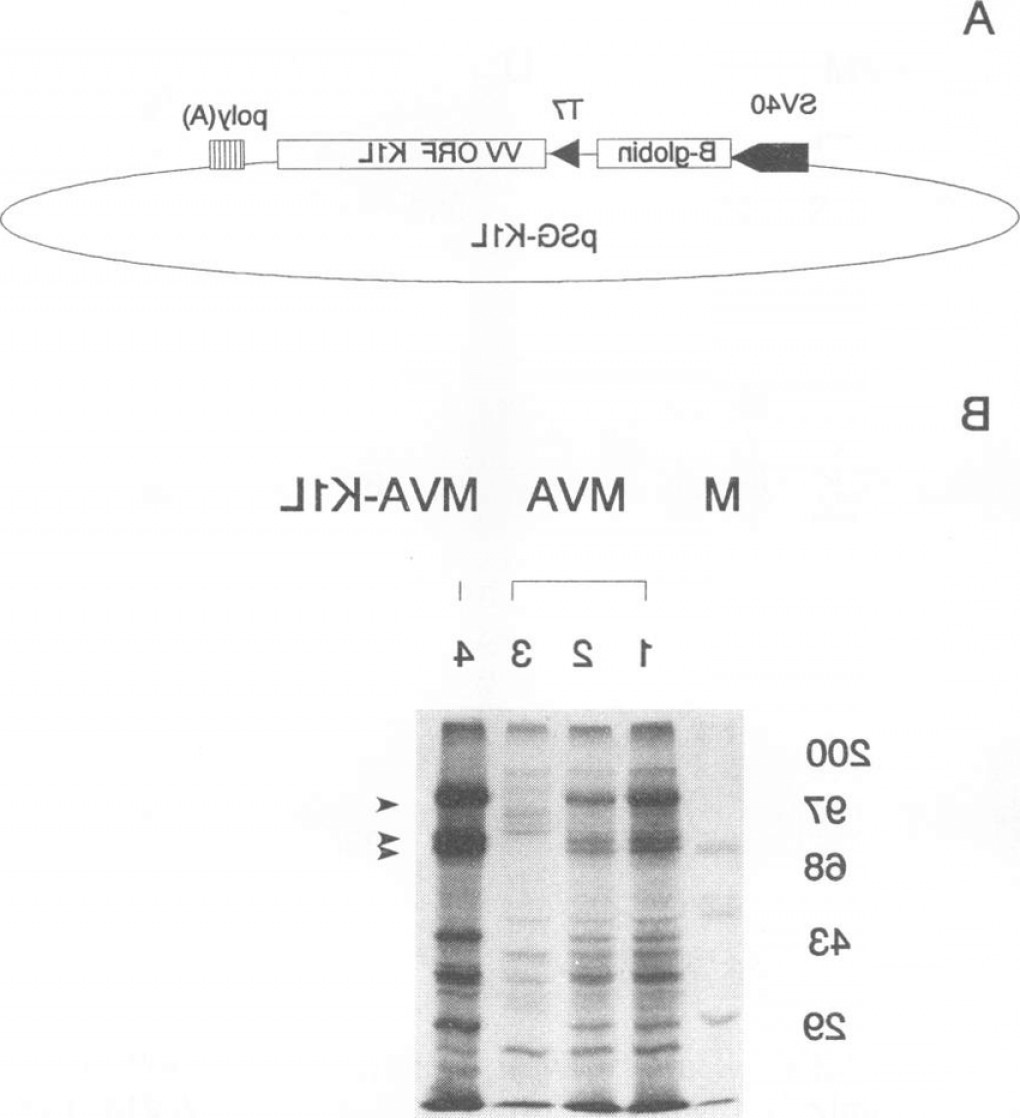 Vaccinia Virus Vector: Effects Of Transient Expression Of The Vaccinia Virus Kll Gene On Mva Induced Proteinfig