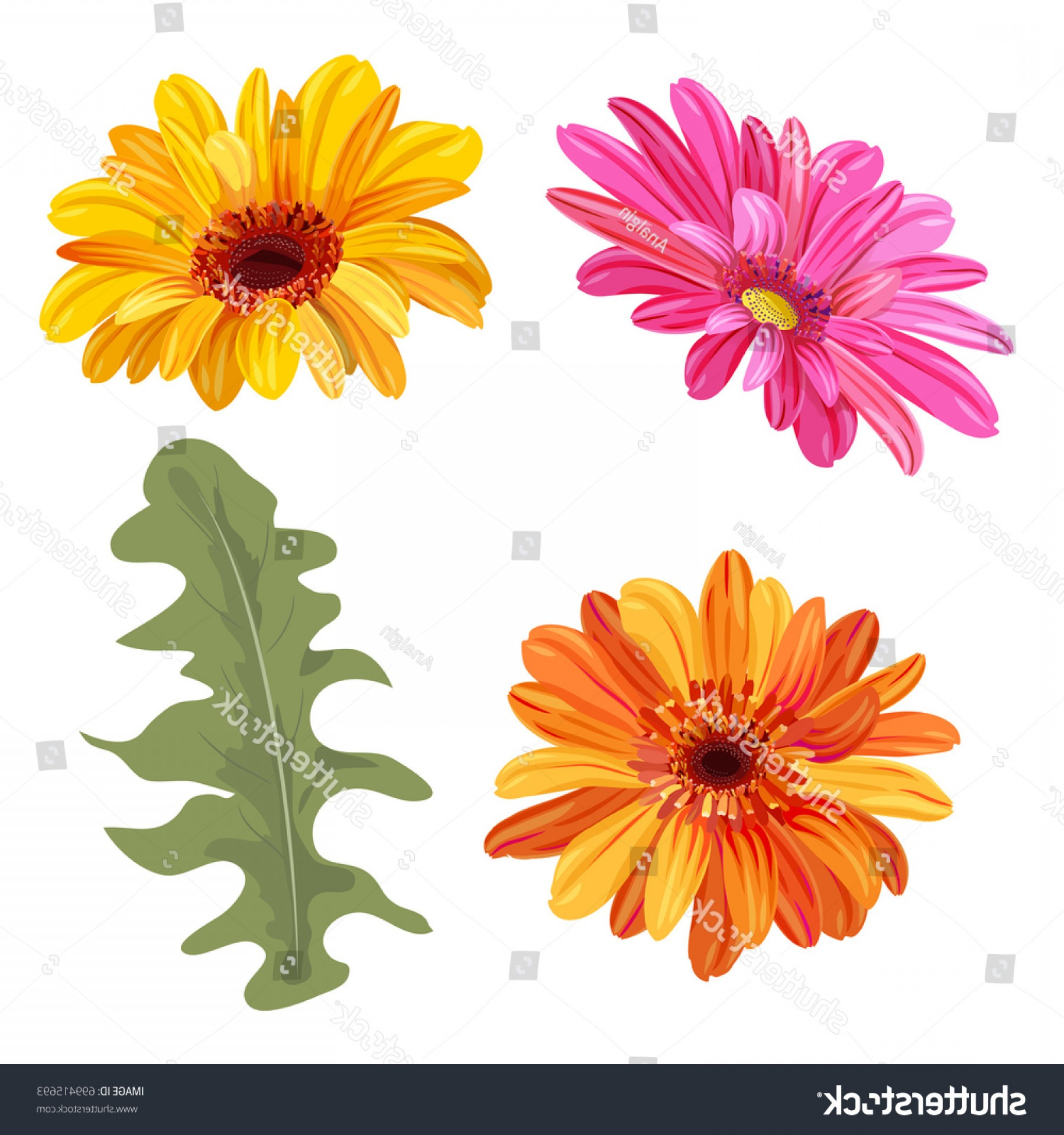 Orange Gerber Daisy Vector: Elegant Set Gerbera Daisy Orange Red Yellow