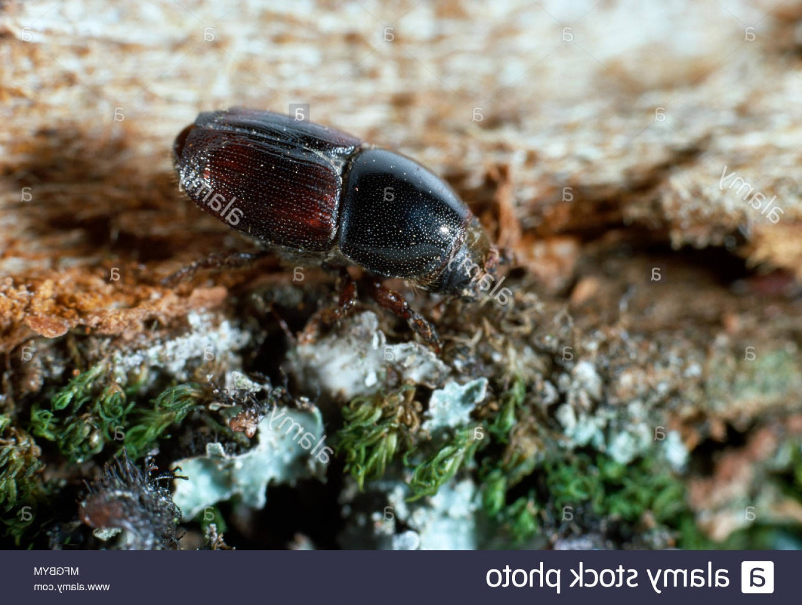 Vectors Diseases Caused By: Elm Bark Beetle Scolytus Scolytus Vector Of Dutch Elm Disease Invades Tree Via Damage Caused By Beetles Image