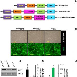 GFP Lentiviral Vector: Engineering Rat Mscs With Lentiviral Vectors To Overexpress Or Knockdown Of Mir Afig