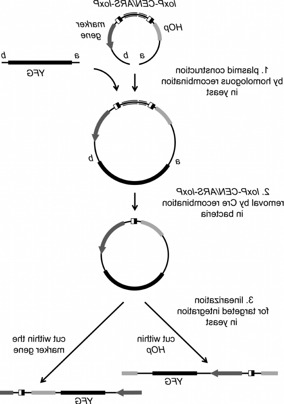 Vector Group Of Hands Overlapped: Flow Chart For Using Pxr Vectors Step Transformation Of Yeast With A Linearized Pxrfig