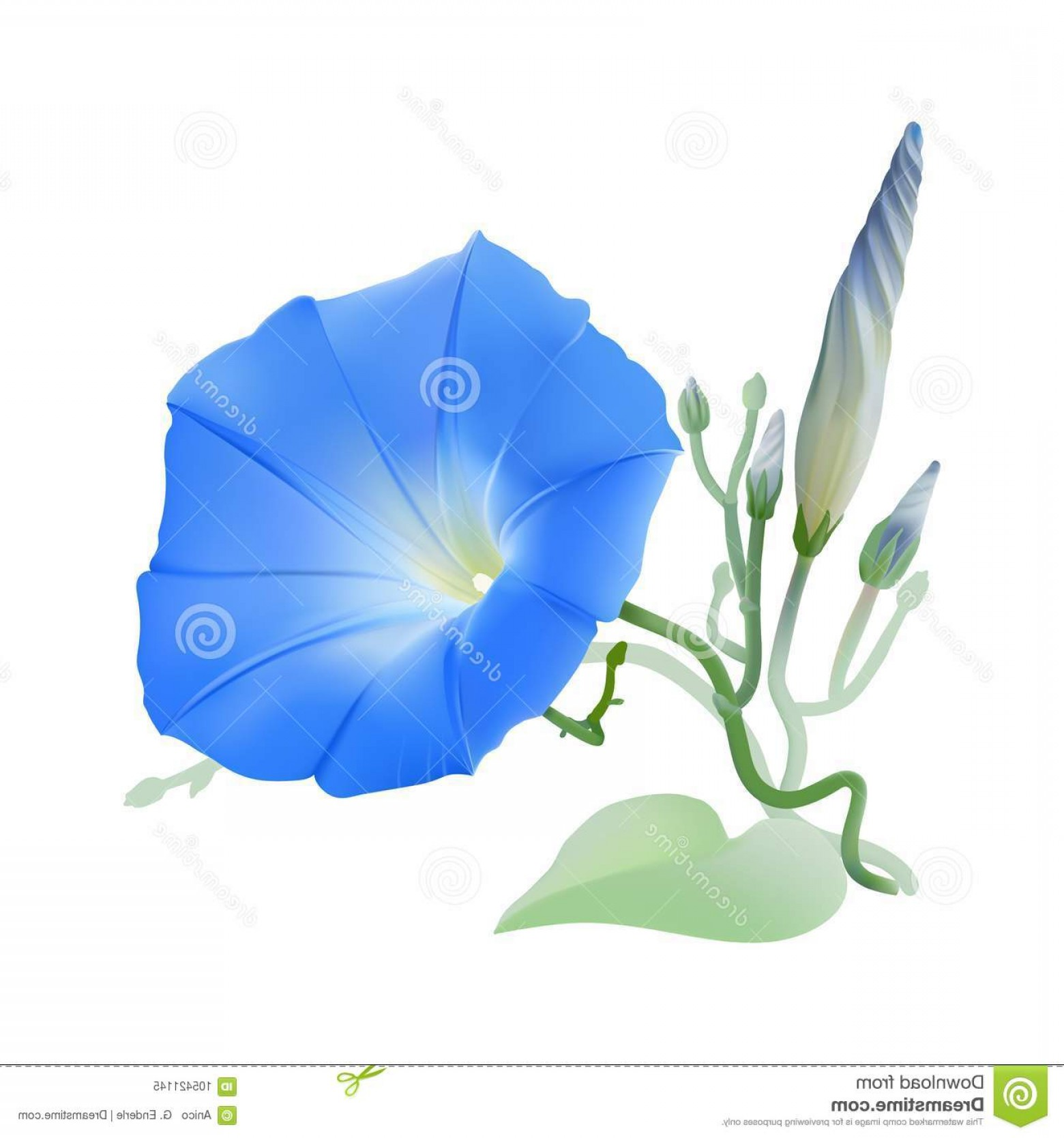 Morning Glory Transparent Vector: Flower Buds Twisted Vines Ipomoea Tricolor Hand Drawn Vector Illustration Transparent Background Morning Glory Heavenly Image