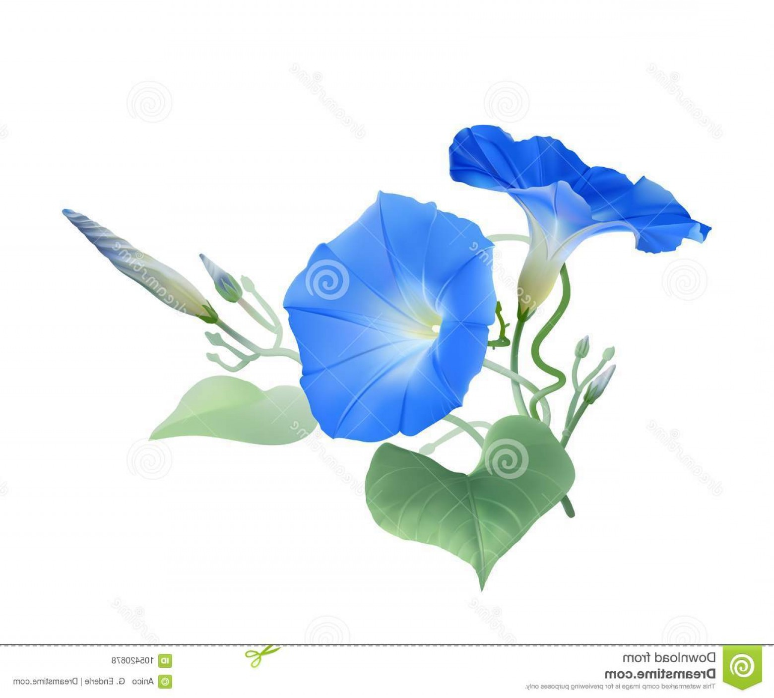 Morning Glory Transparent Vector: Flowers Buds Twisted Vines Ipomoea Tricolor Hand Drawn Vector Illustration Transparent Background Morning Glory Heavenly Image