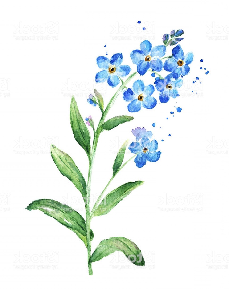 Get For Me Not Flower Watercolor Vector Art: Forget Me Not Flower Watercolor Gm