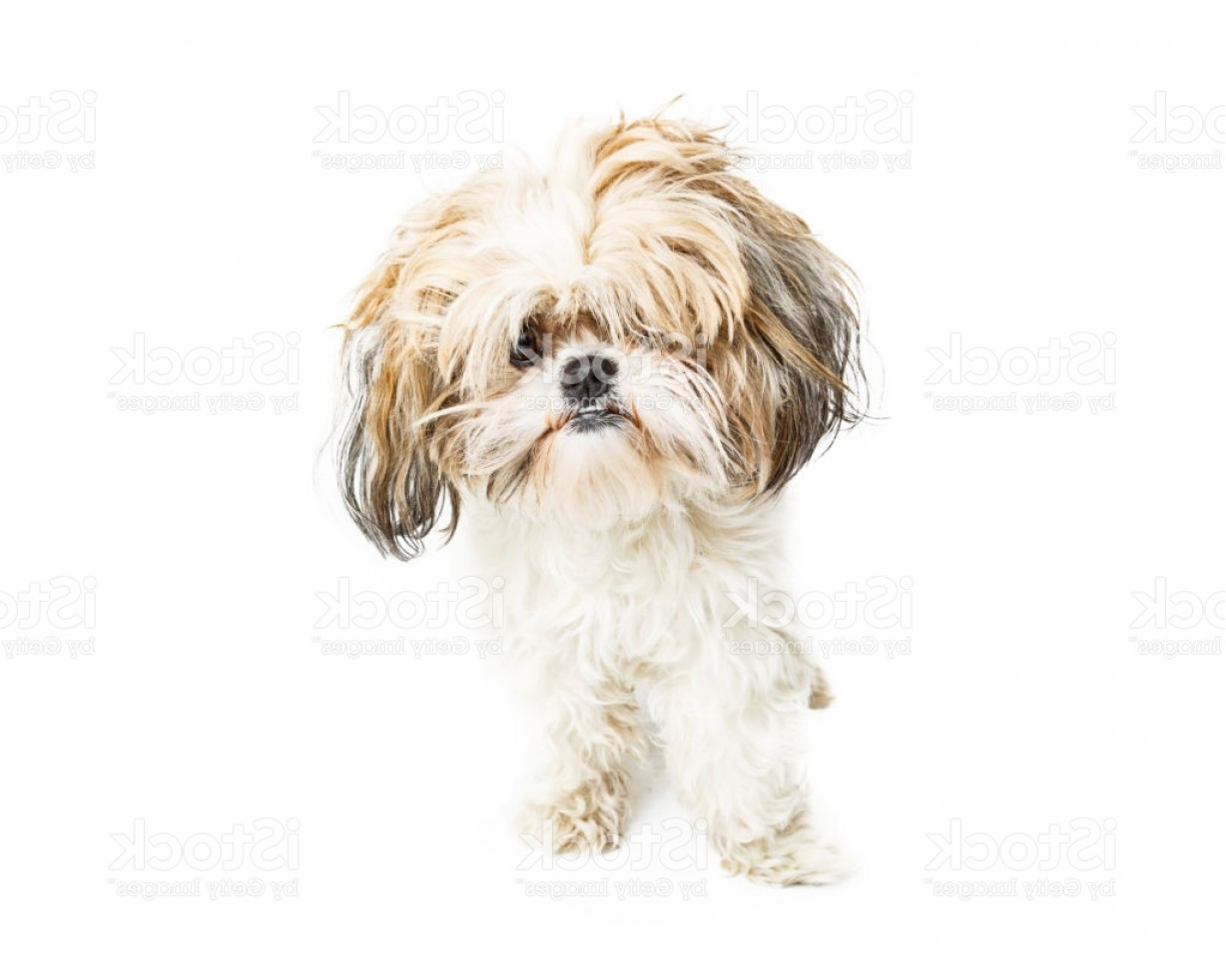 Shih Tzu Vector Siluete: Funny Shih Tzu Dog With Messy Hair Gm