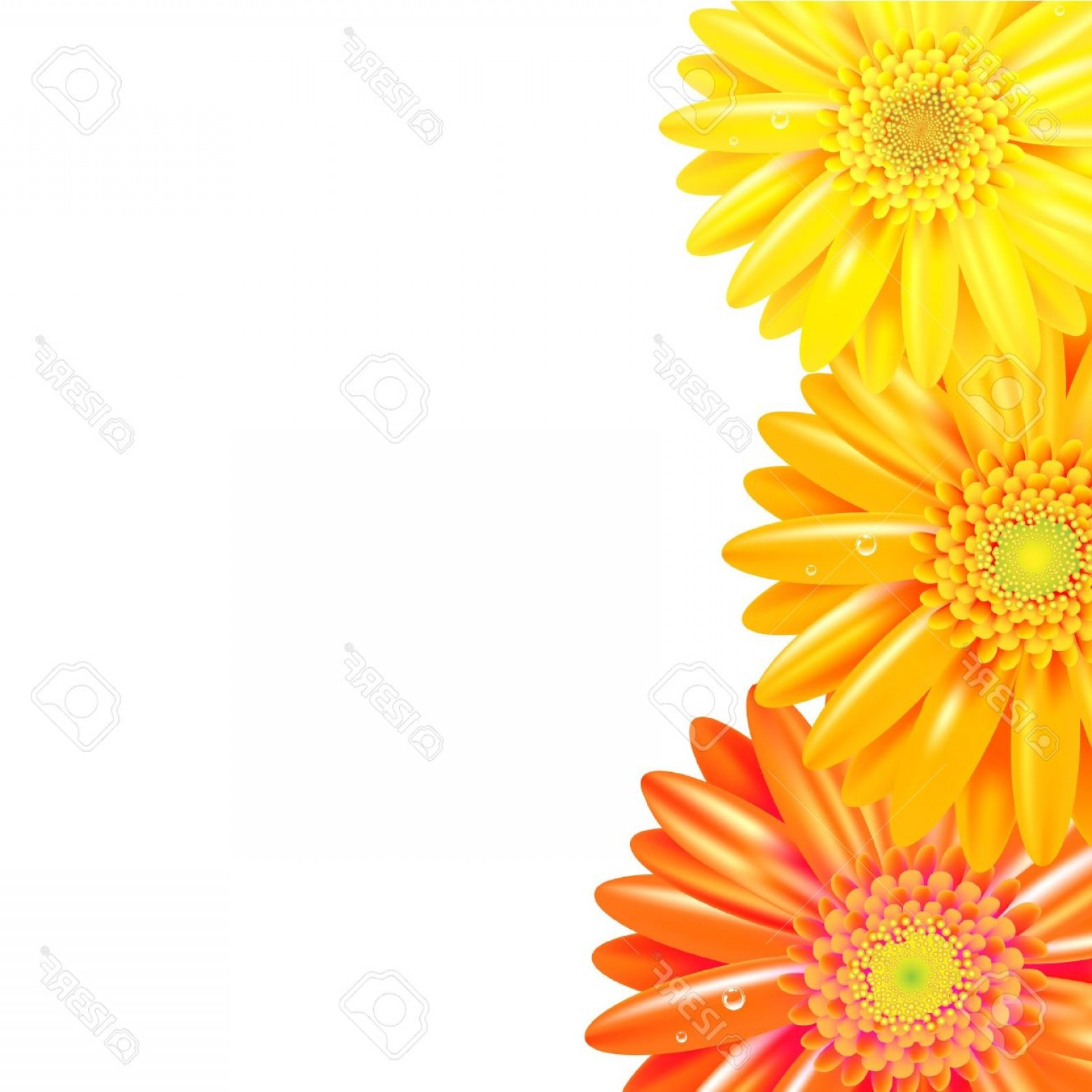 Orange Gerber Daisy Vector: Glamorous Photoyellow And Orange Gerbers Border Isolated On White Background Vector Illustration