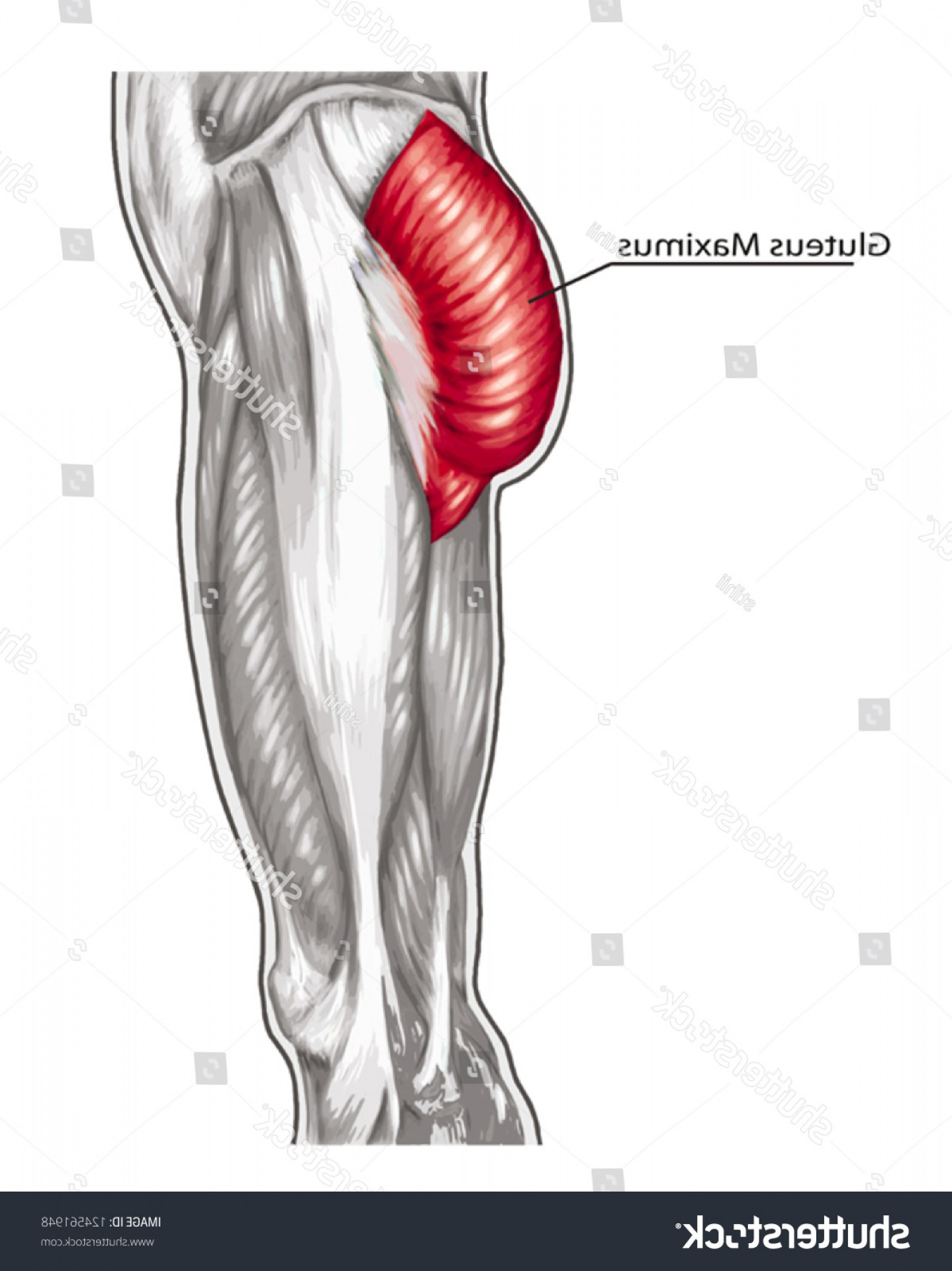 Knee Board Vector: Gluteus Maximus Didactic Board Anatomy Leg