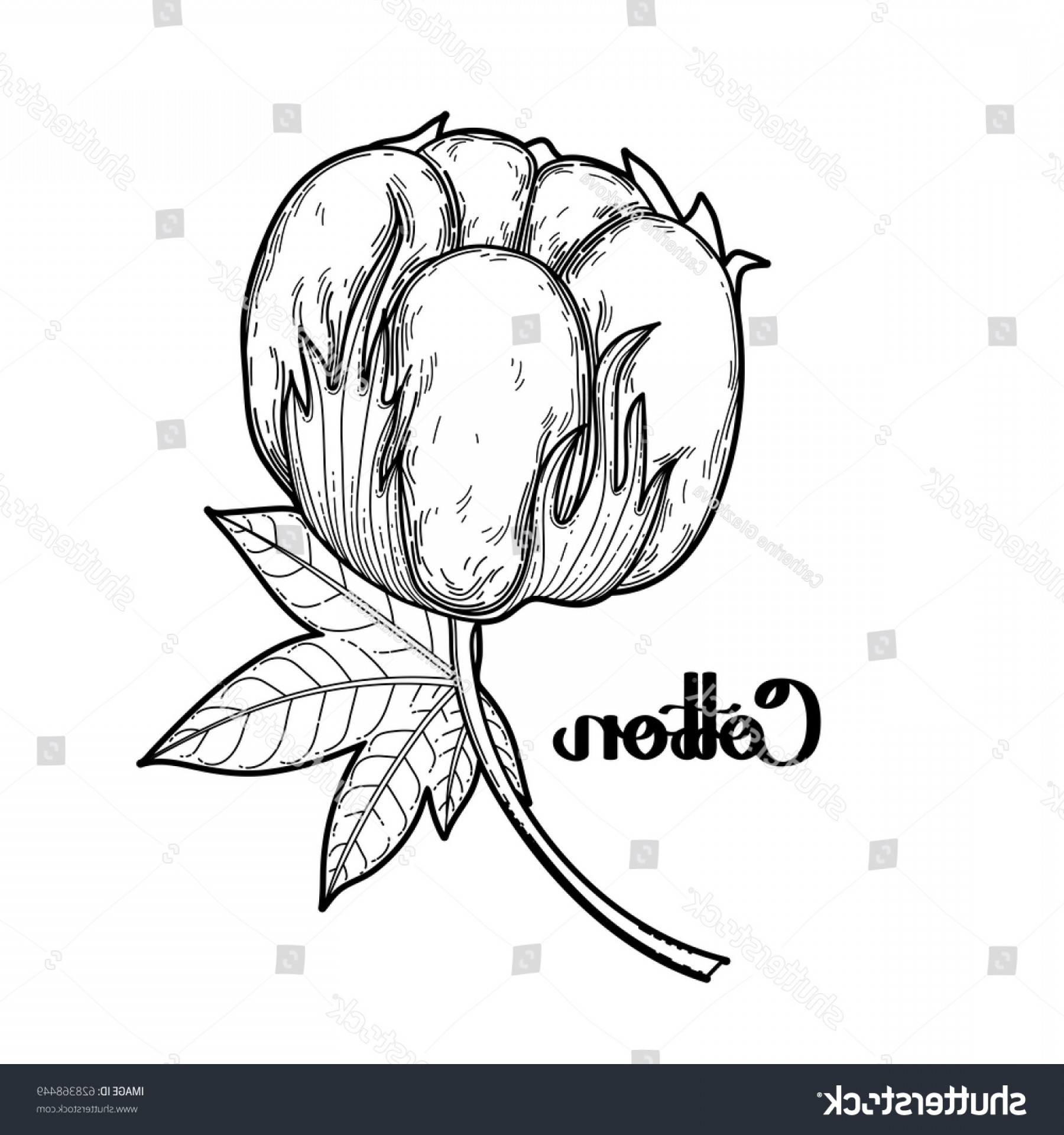 Cotton Vector Graphic: Graphic Cotton Plant Vector Art Isolated