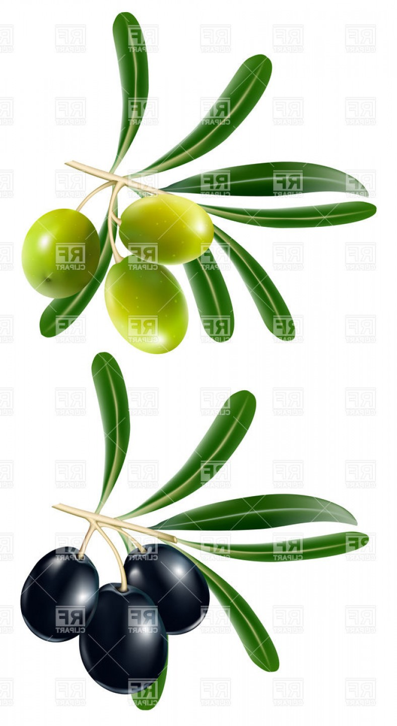 Olive Vector: Green And Black Olive Vector Clipart